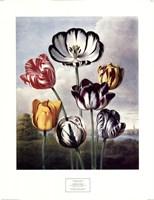 Tulips Fine-Art Print