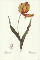 Tulipa Gesneria (A) Fine-Art Print
