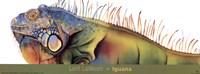 Iguana Fine-Art Print