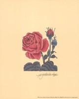 Roses Fine-Art Print