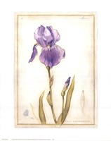 Purple Iris I Fine-Art Print