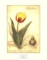 Keizerskroon Tulip Fine-Art Print