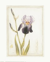 Purple Iris with Beard I Fine-Art Print