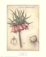 Crown Imperial Lily Fine-Art Print