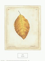 Beech Leaf Fine-Art Print