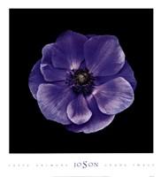 Poppy Anemone Fine-Art Print