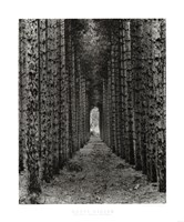 Red Pines, Empire, Michigan Fine-Art Print
