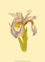 Iris Bloom I Fine-Art Print