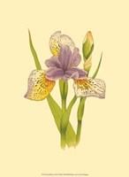 Iris Bloom VII Fine-Art Print