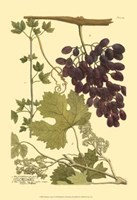 Grapes I Fine-Art Print