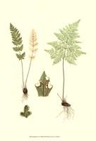 Spring Ferns IV Fine-Art Print