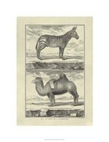 Zebra Camel Giclee