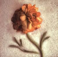 Sand Ranunculus Fine-Art Print