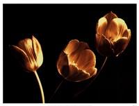 Tulip Trio Fine-Art Print
