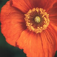 Orange Poppy Fine-Art Print