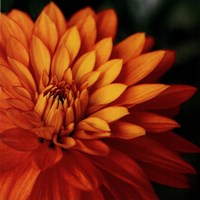 Orange Dahlia Fine-Art Print