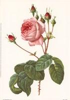 Rosa Centrifolia Bullata Fine-Art Print