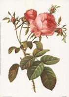 Rosa Centrifolia Foliacea Fine-Art Print