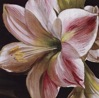 Pink Amaryllis Fine-Art Print