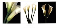 White Callas Fine-Art Print