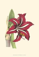 Amaryllis Blooms I Fine-Art Print