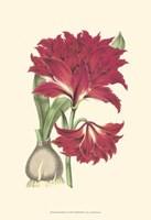 Amaryllis Blooms II Fine-Art Print