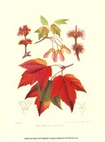 Red Maple Fine-Art Print