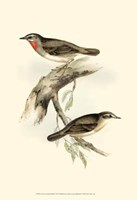 Gould's Gorget Warbler Fine-Art Print