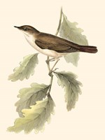 Gould's Nightingale Fine-Art Print