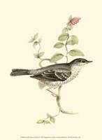 Gould's Barred Warbler Fine-Art Print