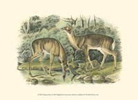 Virginian Deer Fine-Art Print