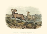 Rocky Mountain Sheep Fine-Art Print