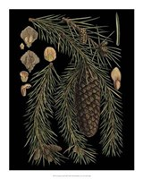 Dramatic Conifers III Giclee