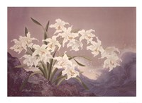 White Orchids Fine-Art Print