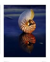Tiger Nautilus Fine-Art Print