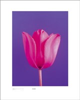 Tulip, Magenta On Deep Purple Wall Poster