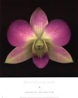 Dendrobium Fine-Art Print
