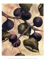 Italian Harvest - Figs Fine-Art Print