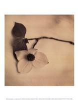 Sepia Dogwoods I Fine-Art Print