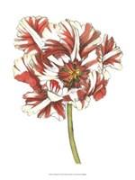 Tulip Beauty III Fine-Art Print