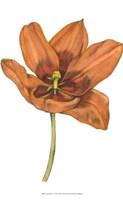 Tulip Beauty V Fine-Art Print