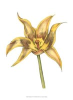 Tulip Beauty VI Fine-Art Print