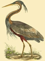Small Purple Heron Fine-Art Print