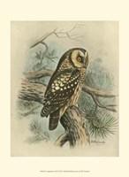 Tengmalm's Owl Fine-Art Print