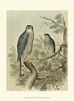 Sparrow Hawk Fine-Art Print