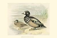 Harlequin Duck Fine-Art Print