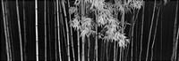Bamboo - China Fine-Art Print
