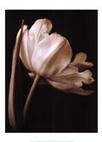 Champagne Tulip I Fine-Art Print