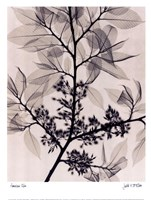 American Elm Fine-Art Print