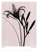 Day Lily Fine-Art Print